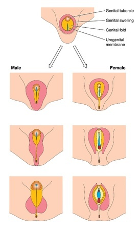 fetal genitalia development