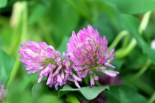 red clover vaginal atrophy